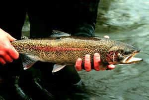 White River Trout Fishing Information