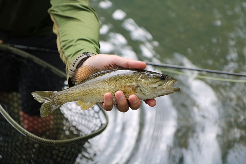 Cossatot River smallmouth bass.