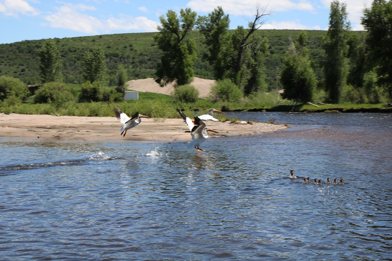 Pelicans after the Mergansers