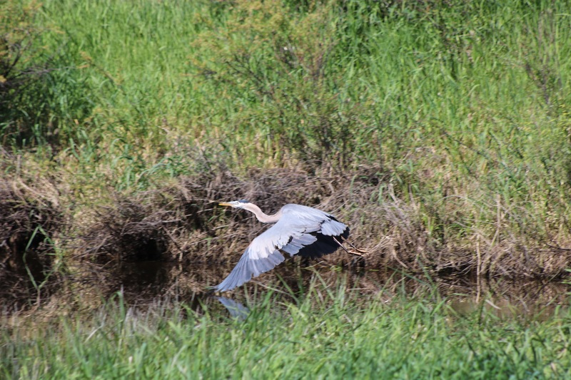 Pretty good shot of a Greater Blue Heron in flight.