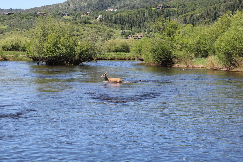 Doe and her fawn crossing the Yampa River.