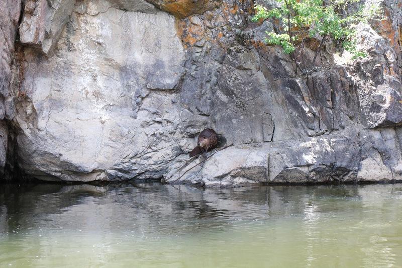 Big ole beaver.