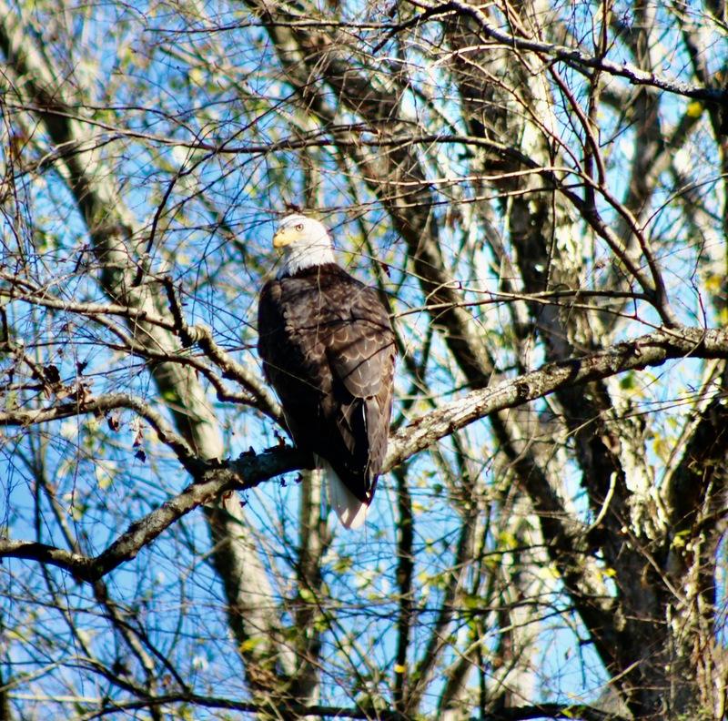Long range photo of a big bald eagle.