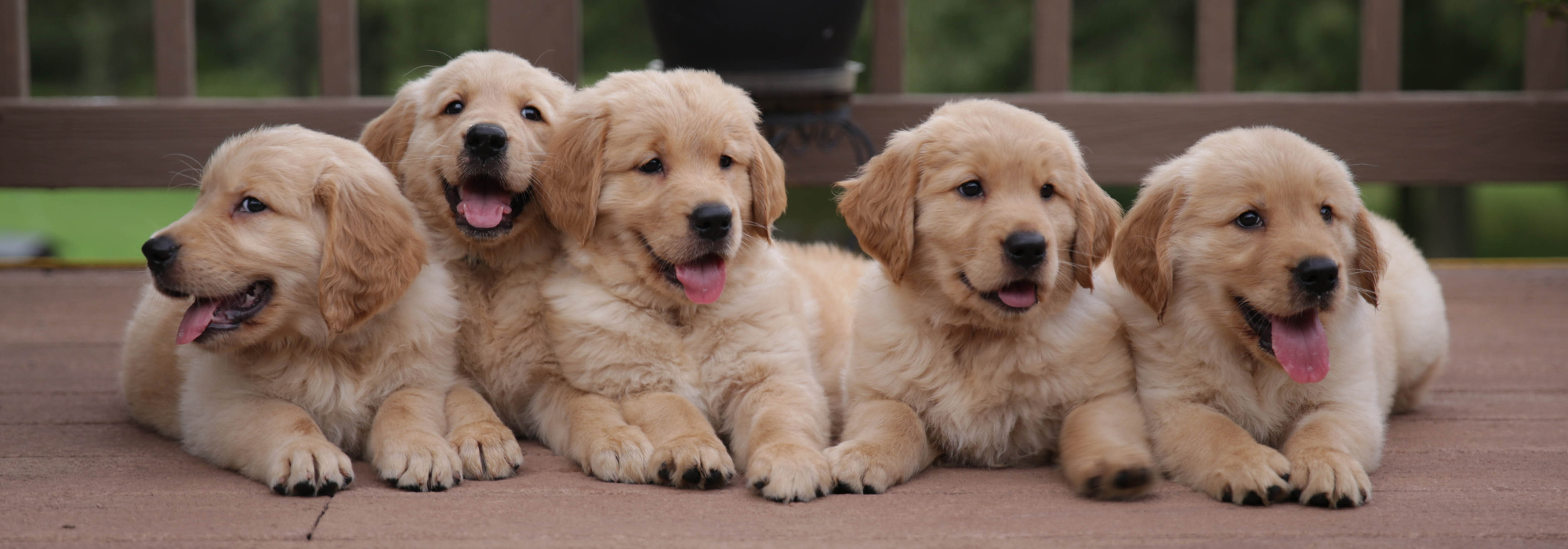 Dogwood Farms Golden Retrievers