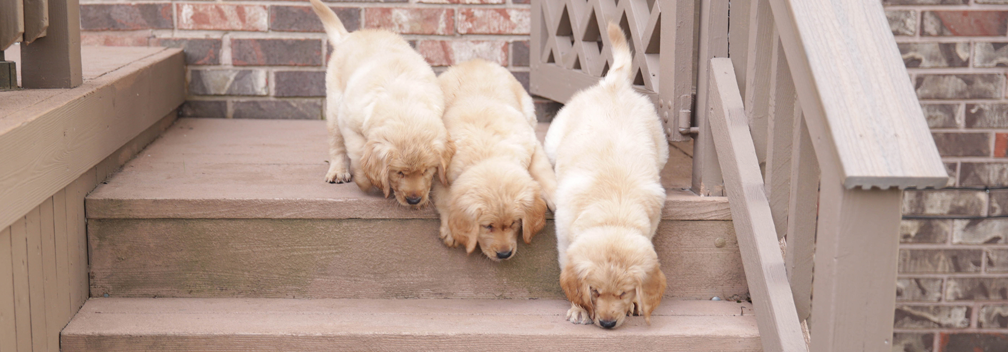 Pure Bred, AKC Registered, and OFA Certified Golden Retrievers